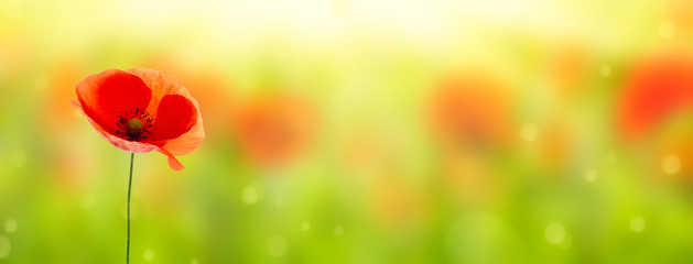 blooming poppy on blurred field background