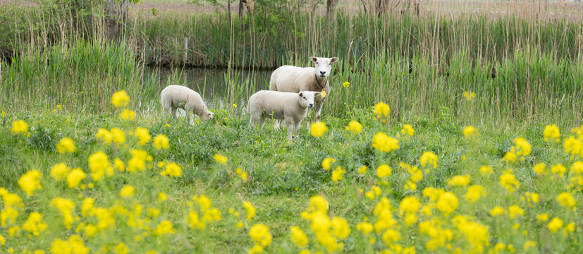 young lambs and sheep in green grassy field with spring flowers between amsterdam and utrecht in holland