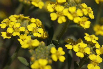 Alyssum montanum 'Berggold' - mountain madwort a little yellow alpine plant