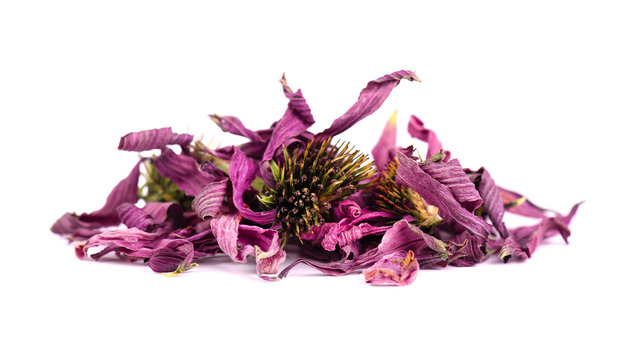 Dried Echinacea flowers, isolated on white background. Medicinal herbs.