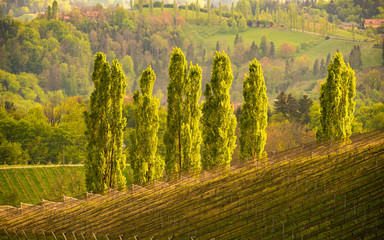 Five Poplars in sun, wine street area south Styria , wine country. Tourist destination