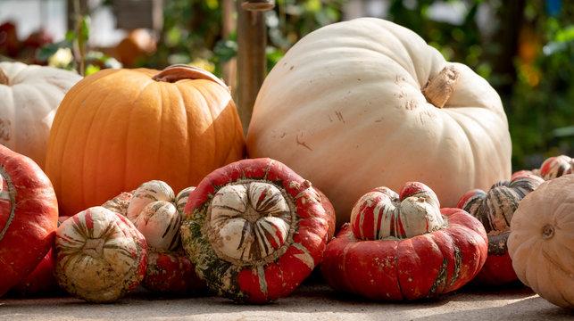 Orange gourds / squash / pumpkins photographed in the greenhouse at Babylonstoren, Franschhoek, South Africa.