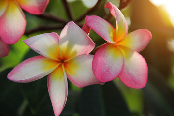 Autocollant pour porte Frangipanni colorful plumeria flower in nature