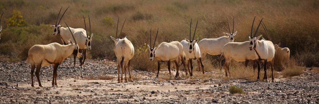 Group of Arabian oryx in semi-desert steppe of Jordan