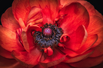 Detailed fine art still life color macro of the inner heart of an isolated single dark red buttercup blossom on black background with detailed texture