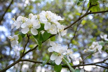 Obraz kwiat jabłon - fototapety do salonu