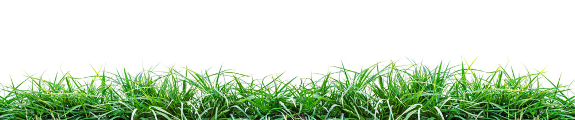 Wall Mural - a green grass isolated on white background