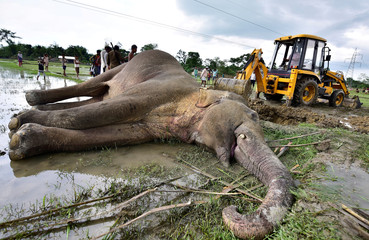 An excavator moves the carcass of an elephant, that according to forest officials was electrocuted in a paddy field, for its burial at Harmati village