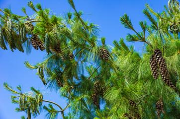 Pinus Strobus, Weymouth Pine Full of Ripe Cones
