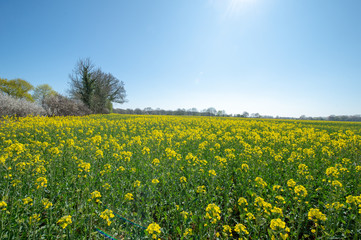 yellow rape field and blue sky