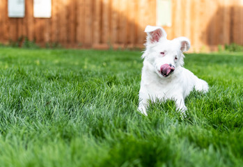 White blind and deaf puppy in the grass with pink tongue out. Copy Space.