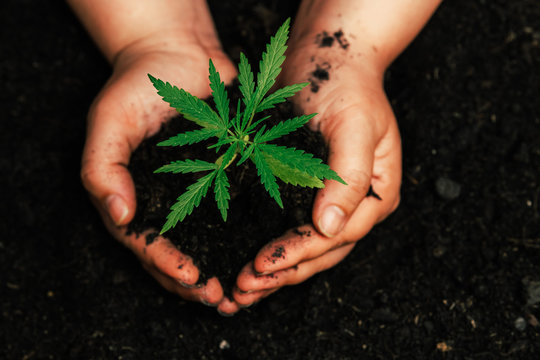 The second hand is carrying marijuana seedlings that will be planted in the soil the concept of loving the world.