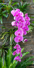 Hanging purple orchid flowers in nursery hothouse.