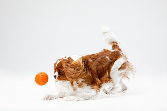 Spaniel puppy playing in studio. Cute doggy or pet is running isolated on white background. The Cavalier King Charles. Negative space to insert your text or image. Concept of movement, animal rights.