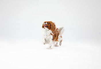 Wall Mural - Spaniel puppy playing in studio. Cute doggy or pet is jumping isolated on white background. The Cavalier King Charles. Negative space to insert your text or image. Concept of movement, animal rights.