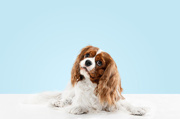 Spaniel puppy playing in studio. Cute doggy or pet is sitting isolated on blue background. The Cavalier King Charles. Negative space to insert your text or image. Concept of movement, animal rights.