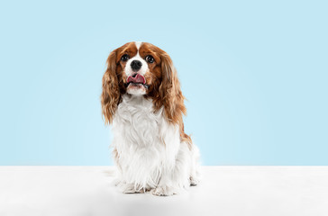 Wall Mural - Spaniel puppy playing in studio. Cute doggy or pet is sitting isolated on blue background. The Cavalier King Charles. Negative space to insert your text or image. Concept of movement, animal rights.