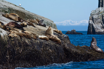 With nose upraised a Stellar Sealion watches over his harem of females while warming up on a dry coastal Alaskan rock