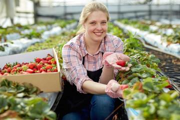 Female harvesting ripe strawberry