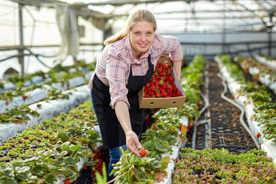 Woman picking strawberry in greenhouse