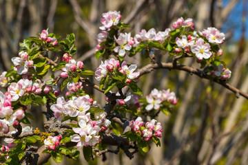 Flowering malus sylvestris the european crab apple in the spring garden