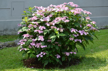 Fond de hotte en verre imprimé Hortensia Large pink hydrangea macrophylla shrub in full bloom with fresh green grass in the background in a garden in a sunny summer day