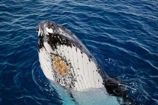 Humpback whale (Megaptera novaeangliae), emerges, throat pouch with throat grooves and parasitic crustaceans, Silver Bank, Silver and Navidad Bank Sanctuary, Atlantic Ocean, Dominican Republic, Central America