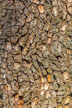 Texture of the bark of a tree. Natural background. Bark of a tree close-up.