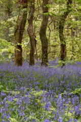 Bluebell woodland ancient trees