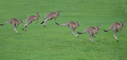 Papiers peints Kangaroo kangaroos hopping sequence