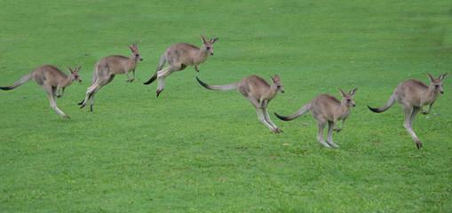 Photo sur Aluminium Kangaroo kangaroos hopping sequence
