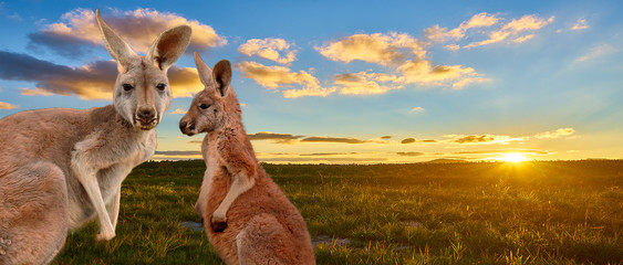 kangaroo with sunset Australia outback Wall mural
