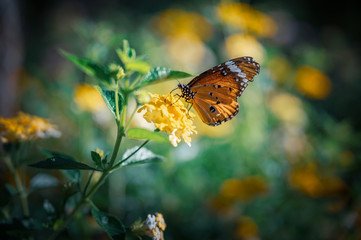 Closeup monarch butterfly on flower n blurred yellow sunny background with Copy space.