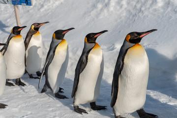King Penguin walk for exercise