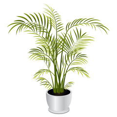 Indoor Palm Tree Houseplant Isolated on White Background