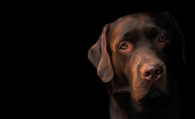 Face portrait of brown chocolate labrador retriever dog isolated on black background. Dog face close up. Young cute adorable brown labrador retriever.