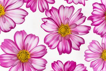 Photo sur Toile Dahlia cosmos flower background