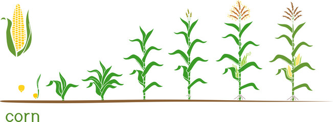Life cycle of corn (maize) plant. Growth stages from seed to flowering and fruiting plant isolated on white background Fototapete