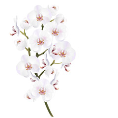 White orchid flowers (Phalaenopsis). Realistic vector illustration on white background.