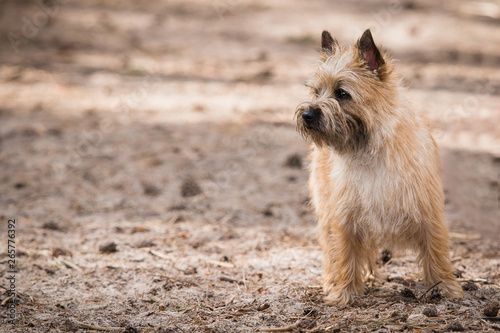 Red Cairn Terrier looking to the left