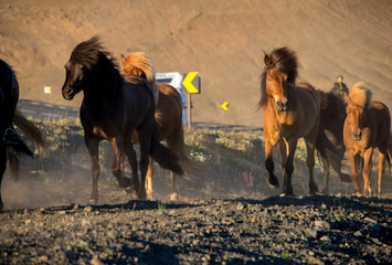 Icelandic horse in the field of scenic nature landscape of Iceland. The Icelandic horse is a breed...