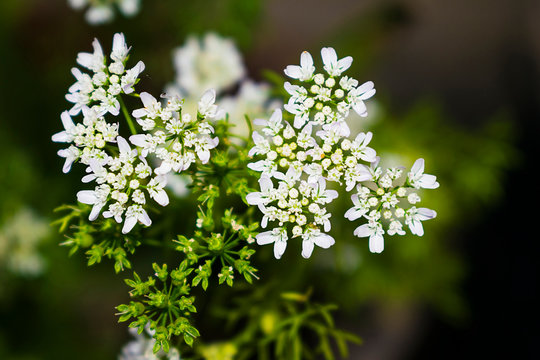 a close up of coriander flowers in a garden with blurred background.