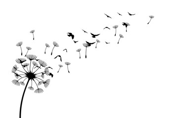 Obraz Dandelion with flying birds and seeds. Vector isolated decoration element from scattered silhouettes. Conceptual illustration of freedom and serenity. - fototapety do salonu