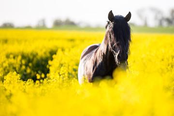 Schwarze Pferde im Raps Fotoväggar