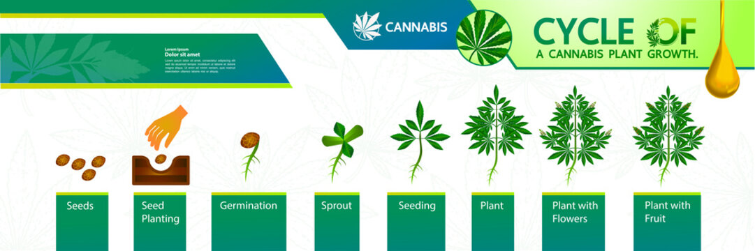Cycle of a cannabis plant growth vector illustration.