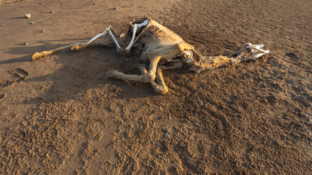A dead dromedary along the caravan way at sunrise in the Danakil Depression in Ethiopia