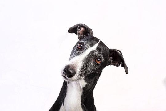Portrait of a greyhound on white background