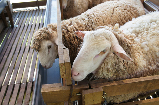 Sheeps from selected breeds livestock are placed in the cages. Given bran and nutrient food to maintain the quality of livestock.