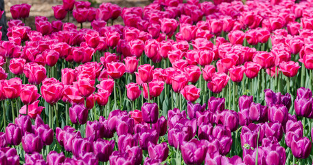 Poster Rose large blooming flower bed with puple and pink hybrid tulips
