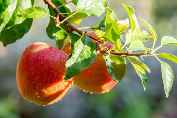 Harvesting apples in garden, autumn harvest season in fruit orchards